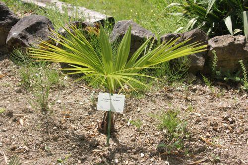 17 trachycarpus martianus marnay 16 juin 2013 085 (1).jpg