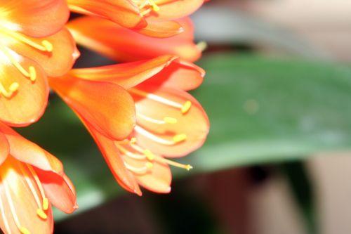 clivia fleur profif veneux 14 avril 2010.jpg