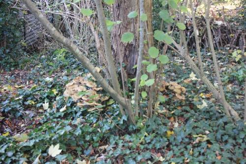 fraxinus armillaire veneux 6 nov 2016 001.jpg
