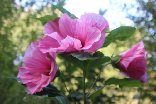 3 hibiscus moscheutos solene romi 11 sept 2016 106.jpg