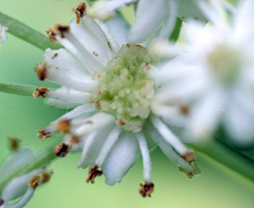 monstrosa fleur monstr p romi 25 juin 2010 047.jpg