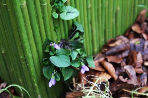 22 violette veneux 5 mars 2016 016.jpg