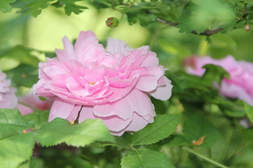 11 rosa inconnue romi 9 juin 2015 005 (3).jpg