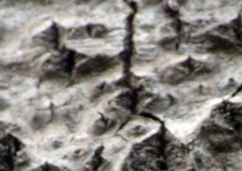 7 populus alba los romi 7 nov 2013 047 (6).jpg