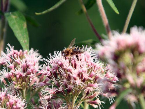 eupatoire abeille romi 9 août 187.jpg
