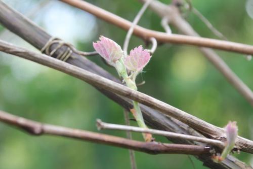 4 vitis labrusca veneux 19 avril 2017 012.jpg