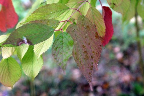 7 viburnum mariesii gb 6 oct 2012 157 (5).jpg