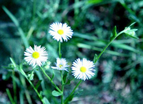 aster sauvage fleurs 29 juil 2010 075.jpg