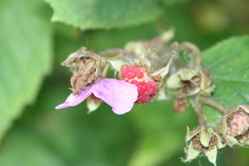 rubus odoratus romi 16 juil 2014 067 (2).jpg