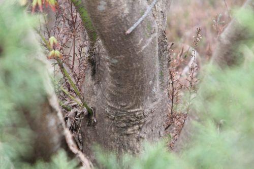 acer micranthum gb 9 avril 2012 150 (3).jpg