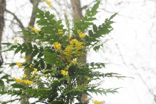 16 mahonia charity veneux 24 dec 021.jpg