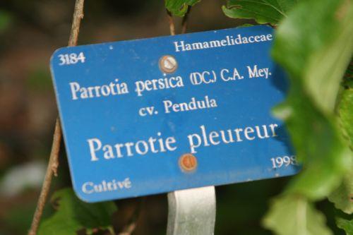 parrotia persica pend étiq arbofolia 9 oct 2010 113.jpg