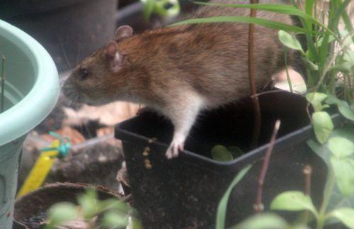 6 rat 27 avril 2012 033.jpg