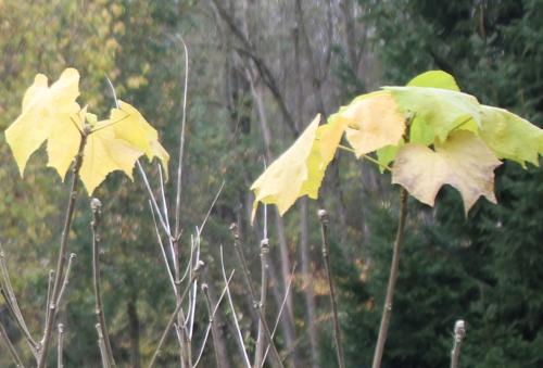 2 hibiscus para pr romi 15 nov 2014 007.jpg
