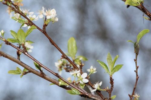 2 prunus salicina romi 14 mars 2016 021.jpg