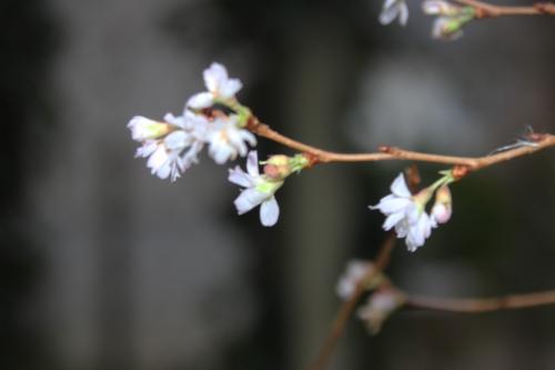 3 prunus subhirtella  autumnalis veneux 1 dec 2015 001 (3).jpg