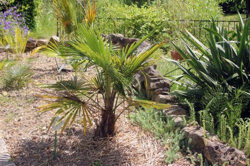 1 trachycarpus takil marnay 16 juin 2013 083 (1).jpg