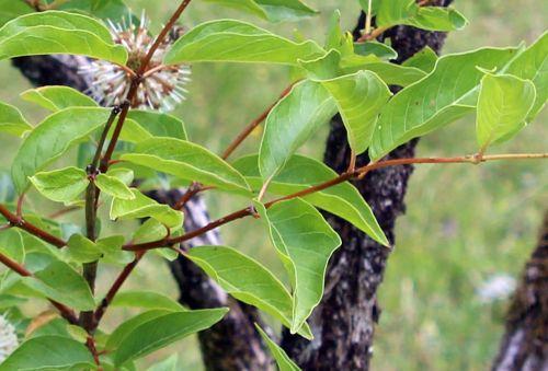 4 cephalanthus dét barres 27 juillet 2013 014.jpg