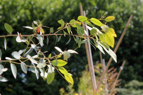 eucalyptus adulte 2 paris 2 juil 2011 054.jpg