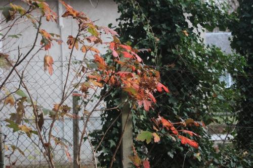 8 hydrangea quercifolia veneux 27 nov 2016 011.jpg
