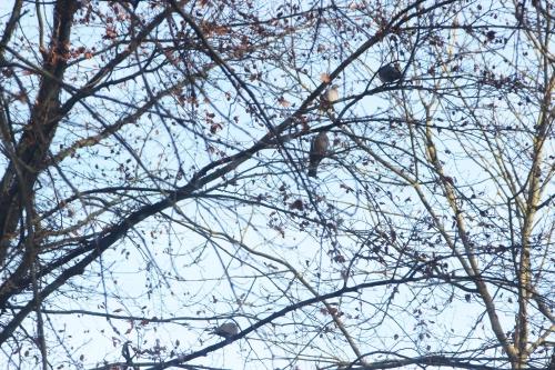 2 pigeons tourterelles veneux 7 dec 2016 003.jpg