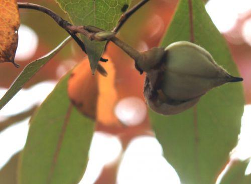 stewartia sinensis 7 gb 21 oct 2012 252 (6).jpg
