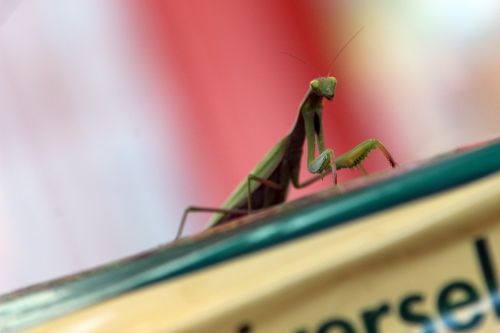 5 mantis romi 30 oct 2013 018.jpg