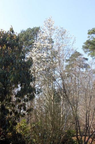 1 magnolia wada's memory gb 25 mars 2012 018.jpg