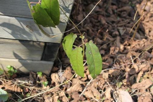 bignonia capreolata romi 16 mars 2015 018.jpg