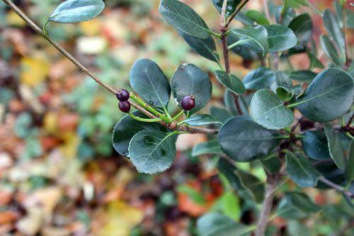 raphiolepis umbellata veneux 9 déc 2013 002 (2).jpg