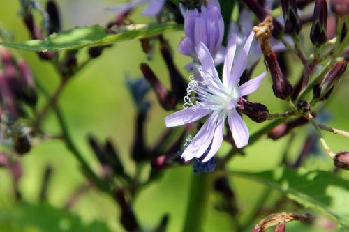 4 cicerbita bourgaei paris 21 juil 2012 203 (10).jpg