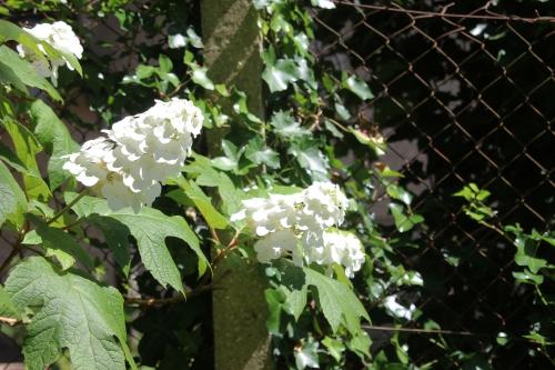 11 hydrangea quercifolia veneux 9 juil 2016 013.jpg