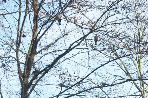 3 pigeons touterelles veneux 7 dec 2016 007.jpg