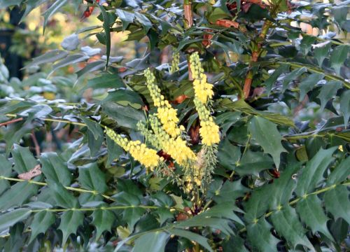 mahonia charity 24 nov 006.jpg