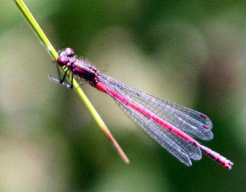 pyrrhosoma mâle p romi 11 juin 027.jpg