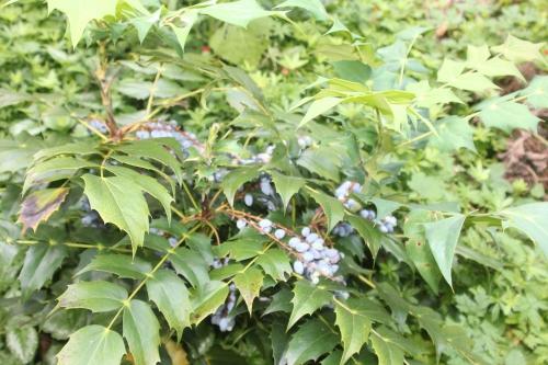 7 mahonia japonica veneux 14 juin 2017 015 (4).jpg