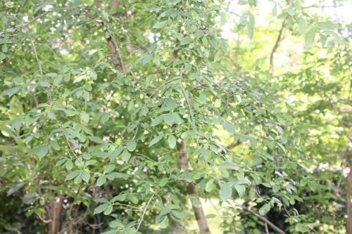 3 yponomeuta euonymus veneux 14 juin 2017 027 (3).jpg