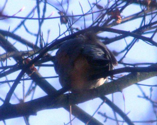 pigeon près 14 dec 002.jpg