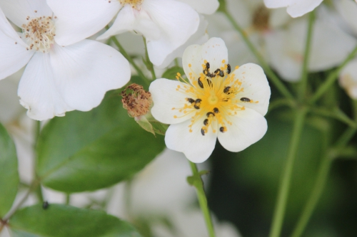 11 rosa mulliganii veneux 26 juin 2016 006.jpg