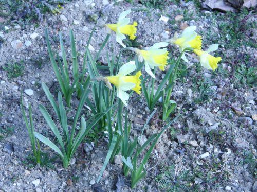 narcissus pseudo paris 23 mars 091.jpg