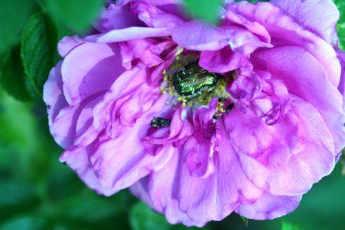 rosa grouille romi 21 mai 170.jpg