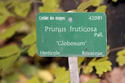 prunus fruticosa globosa 0 paris 1 dec 2013 021 (4).jpg