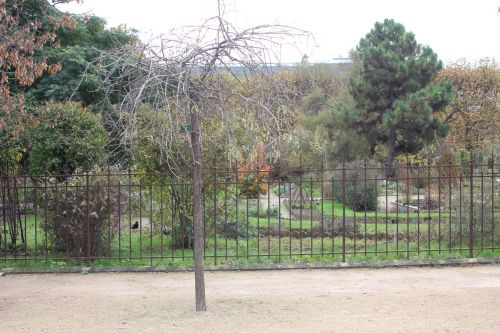 1 pyrus salicifolia paris 10 nov 2012 081 (5).jpg