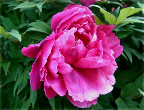 paeonia fleur paris 27 avril 011.jpg