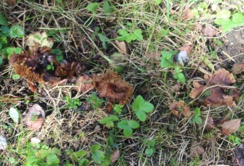 champignons romi 21 sept 2015 005 (9).jpg