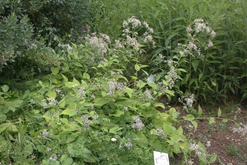 aster macrophyllus marnay 19 juil 2015 038 (1).jpg