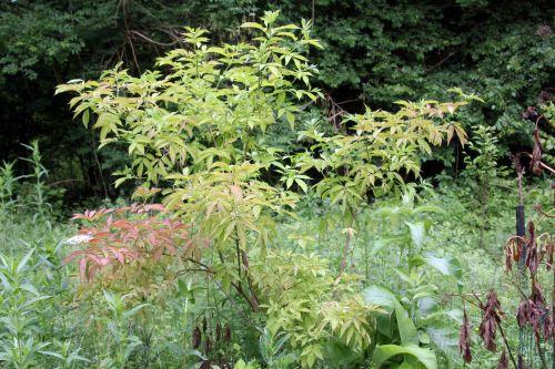 nigra aurea 1 romi 12 juin 2013 054.jpg