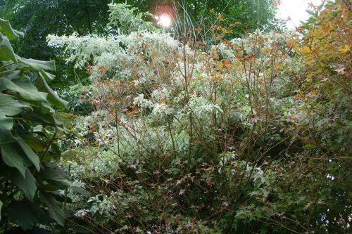 pulverulenta marnay 25 sept 2008 017.jpg