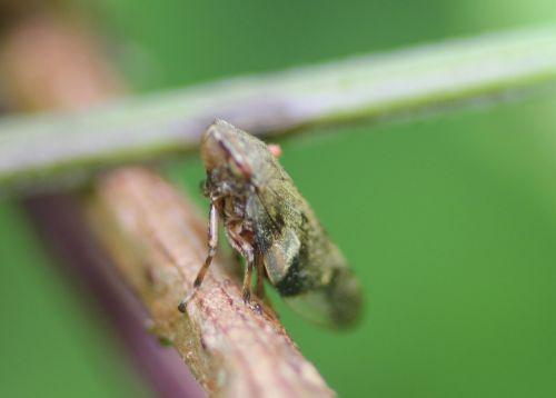 cicadelle romilly 16 juil 2012 215.jpg