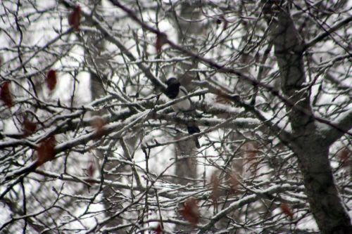 neige pie 20 février 013.jpg